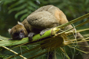 Greater bamboo / Broad nosed gentle lemur, (Prolemur / Hapalemur simus), wild at Ranomafana National Park, Madagascar. Critically Endangered